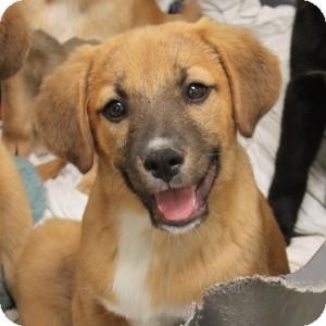 Labrador Retriever/Shepherd (Unknown Type) Mix Puppy for adoption in Naperville, Illinois - Lab Puppy 5