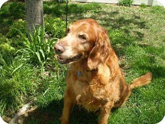 Golden Retriever Dog for adoption in St Louis, Missouri - Cleo
