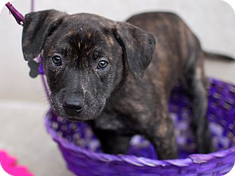 Labrador Retriever/American Staffordshire Terrier Mix Puppy for adoption in Detroit, Michigan - Sadie-Adopted!