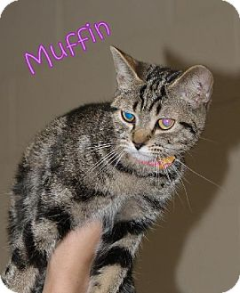 Domestic Shorthair Cat for adoption in Lewisburg, West Virginia - Muffin