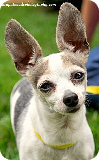 Chihuahua/Jack Russell Terrier Mix Dog for adoption in Worcester, Massachusetts - Rocko