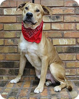 Retriever (Unknown Type)/Black Mouth Cur Mix Dog for adoption in Benbrook, Texas - Buddy