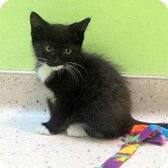 Domestic Shorthair Kitten for adoption in Janesville, Wisconsin - Tuxy