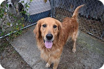 Golden Retriever Dog for adoption in Hartford, Kentucky - Boomer