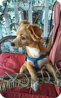 Spaniel (Unknown Type) Mix Puppy for adoption in Santee, California - Stanley