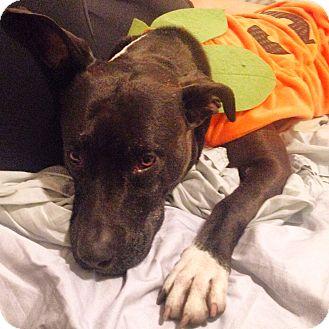 Labrador Retriever Mix Dog for adoption in Smithtown, New York - Sweet Ruby