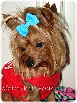 Yorkie, Yorkshire Terrier Dog for adoption in Palm City, Florida - Bubba