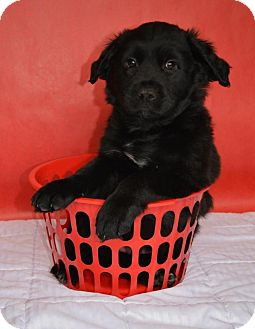 Labrador Retriever Mix Puppy for adoption in Northville, Michigan - Jimmy