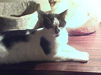 Domestic Shorthair Cat for adoption in Philadelphia, Pennsylvania - January