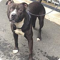 Adopt A Pet :: Felix - Bloomfield, CT