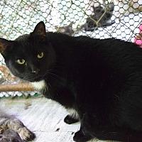 Domestic Shorthair Cat for adoption in Pottsville, Pennsylvania - Leo