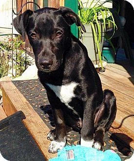 Border Collie/Labrador Retriever Mix Puppy for adoption in Meridian, Idaho - Chaz