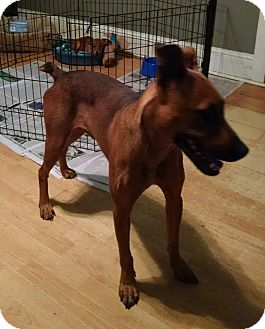 Doberman Pinscher Mix Dog for adoption in Greensboro, Georgia - Dobie