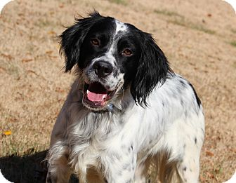 "English Setter Mix Dog for adoption in Yadkinville, North Carolina - Leopold ""Leo"""