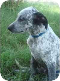 Australian Cattle Dog Mix Dog for adoption in Brenham, Texas - Chelsea