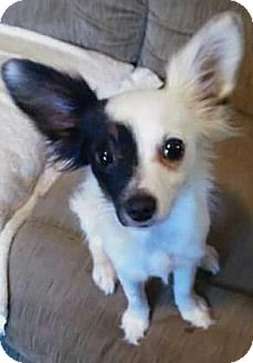 Papillon/Jack Russell Terrier Mix Puppy for adoption in Hagerstown, Maryland - Sparky