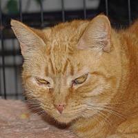 Domestic Shorthair Cat for adoption in Longview, Washington - Zoe
