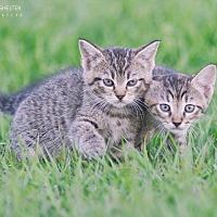 Adopt A Pet :: Junebug - Webster, TX