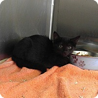 Domestic Shorthair Kitten for adoption in Colonial Heights, Virginia - Jazz