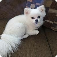 Adopt A Pet :: Gizmo - conroe, TX