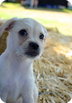 Terrier (Unknown Type, Small) Mix Puppy for adoption in Hawthorne, California - Mango