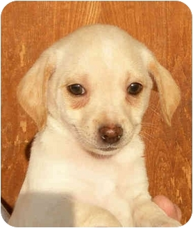 Poodle (Miniature)/Chihuahua Mix Puppy for adoption in El Segundo, California - Brennan