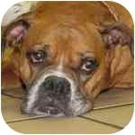 Boxer Mix Dog for adoption in Eatontown, New Jersey - Ruby