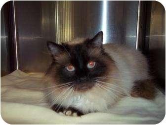 Himalayan Cat for adoption in Staunton, Virginia - Summer
