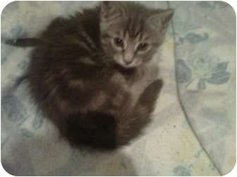 Domestic Shorthair Kitten for adoption in Montreal, Quebec - Chester
