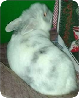 Other/Unknown Mix for adoption in Surrey, British Columbia - Marshmallow