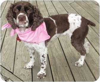 Cocker Spaniel Dog for adoption in Plainfield, Illinois - Dolly
