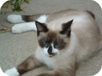 Snowshoe Cat for adoption in Whitney, Texas - Siam
