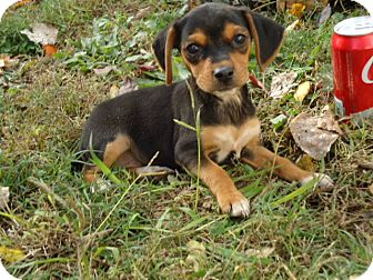 Beagle Mix Puppy for adoption in Spring Valley, New York - Lydia