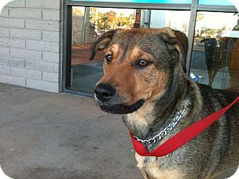 Shepherd (Unknown Type)/Australian Cattle Dog Mix Dog for adoption in Phoenix, Arizona - Roscoe