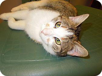 Domestic Shorthair Cat for adoption in Medina, Ohio - Fern