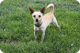 Chihuahua Mix Dog for adoption in California City, California - Rocky