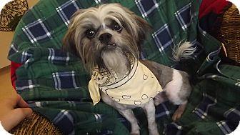 Shih Tzu Dog for adoption in Marshall, Texas - George