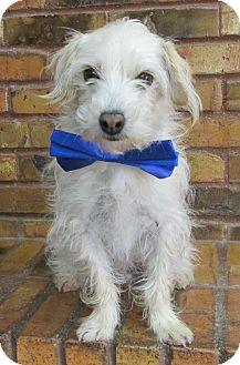 Terrier (Unknown Type, Small) Mix Dog for adoption in Benbrook, Texas - Bolt