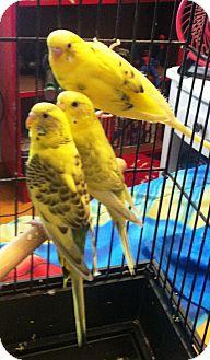 Budgie for adoption in Lenexa, Kansas - Skyler
