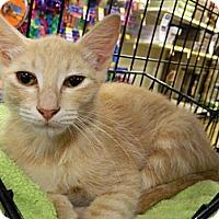 Adopt A Pet :: Nobu - The Colony, TX