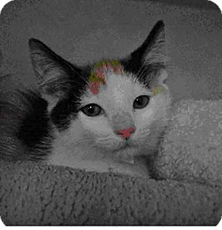 Domestic Mediumhair Kitten for adoption in Gahanna, Ohio - ADOPTED!!!   Lizzie