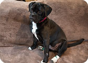 Pug/Beagle Mix Dog for adoption in Wethersfield, Connecticut - Berkeley