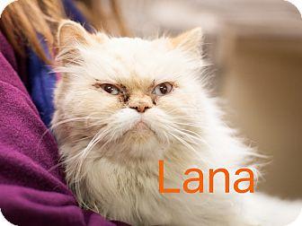 Persian Cat for adoption in Dallas, Texas - Lana