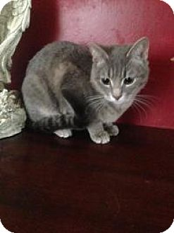 Domestic Shorthair Cat for adoption in Medford, New Jersey - Misty