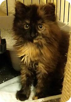 Domestic Longhair Kitten for adoption in Ortonville, Michigan - Spice