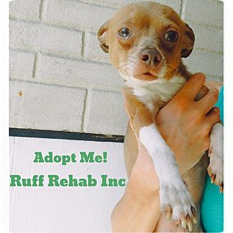 Chihuahua Mix Dog for adoption in Pompton Lakes, New Jersey - Chi boy