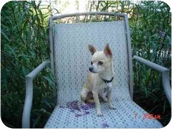 Chihuahua Dog for adoption in Tuttle, Oklahoma - Shylo