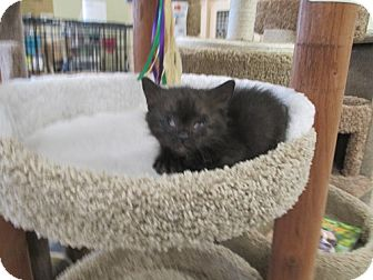 Domestic Shorthair Kitten for adoption in North Plainfield, New Jersey - Colby