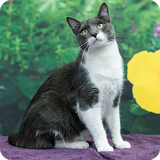 Domestic Shorthair Cat for adoption in Houston, Texas - Dominic