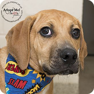 Boxer/Bloodhound Mix Dog for adoption in Troy, Ohio - Gus
